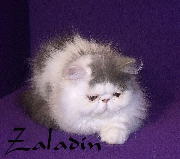 persian kittens in homestead florida, bicolors black and white, pkd